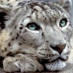 Lionet